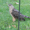 Coopers Hawk <br /> Bridgeton, Mo. <br /> 7/14/2012