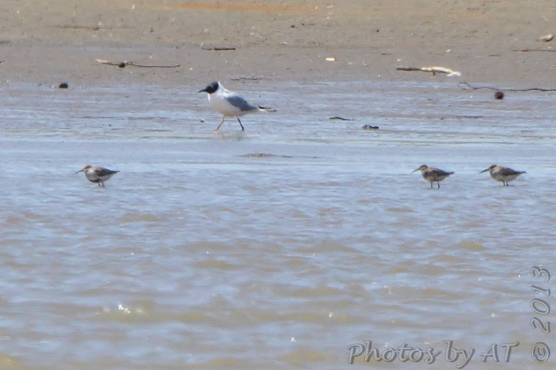 Dunlin and Bonaparte's Gull  Lincoln Shields  Riverlands Migratory Bird Sanctuary
