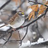 White-throated Sparrow <br /> Bridgeton, MO <br /> 2013-12-14