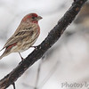 House Finch <br /> Bridgeton, MO <br /> 2013-12-14