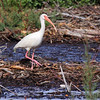 White Ibis  8 Mile Road  Galveston Island  Texas