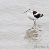 American Avocet  While waiting for the Cameron Ferry  Louisiana
