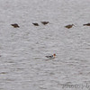 American Avocets and  Hudsonian and Marbled Godwits  Bean Lake