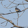 Eastern Bluebird  Bean Lake