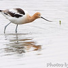 American Avocet Squaw Creek Natural Wildlife Refuge