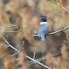 Belted Kingfisher  Behind rowing center  Creve Couer Lake  11/15/2013