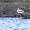 American Avocet  Teal Pond   Riverlands Migratory Bird Sanctuary