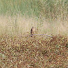 "Northern Harrier <br> Heron Pond <br> Riverlands Migratory Bird Sanctuary  <br><br><span class=""noShowSmart""> <a href=""/MyKeywords/Bird-Videos/n-gF9bt/i-Fqscf5n/A""> Click here to open video in lightbox</a> </span>  <span class=""noShowGallery""> <a href=""/Birds/2013-Birding/Birding-2013-October/2013-10-21-RMB/i-Fqscf5n/A""> Click here to open video in lightbox</a> </span>"
