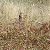 Northern Harrier  Heron Pond  Riverlands Migratory Bird Sanctuary