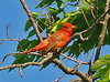 Summer Tanager, Occoquan Bay NWR, Va, 5-25-13