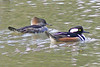 Hooded Mergansers, Burke, VA, 3-7-13