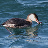 Horned Grebe, South Jetty, Newport, Oregon. 14 February, 2013.