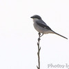 Loggerhead Shrike   Columbia Bottom Conservation Area