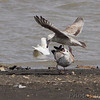Herring Gulls and Glaucous Gull <br /> Ellis Bay <br /> Riverlands Migratory Bird Sanctuary