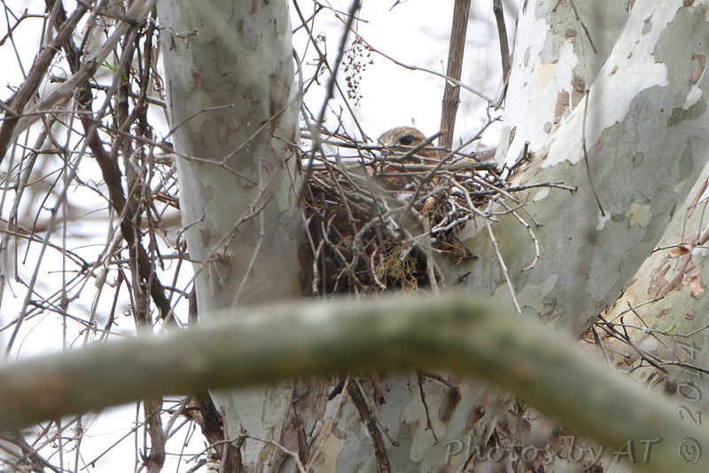 Red-shoulder Hawk on nest <br /> Lost Valley Trail <br /> Weldon Spring Conservation Area