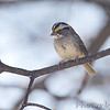 White-throated Sparrow <br /> Bridgeton, MO <br /> 2014-04-16