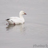 Snow Goose <br /> Ellis Bay <br /> Riverlands Migratory Bird Sanctuary <br /> 12/13/14