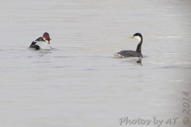 Western Grebe  <br /> and Canvasback <br /> Lincoln Shields Area - Mississippi River <br /> Riverlands Migratory Bird Sanctuary <br /> 12/12/14