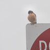 American Kestrel  <br /> Lincoln Shields Area <br /> Riverlands Migratory Bird Sanctuary
