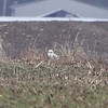 Snowy Owl <br /> IL Hwy 127 just south of Greenville <br /> Bond County, Illinois, US