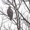 Red-tailed Hawk <br /> Bridgeton, MO <br /> 12/07/14