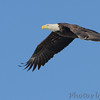 Bald Eagle <br /> Mississippi River <br /> Riverlands Migratory Bird Sanctuary