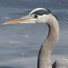 Great Blue Heron  <br /> Mississippi River <br /> Riverlands Migratory Bird Sanctuary