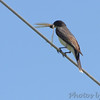 Eastern Kingbird <br /> Wise Road <br /> Riverlands Migratory Bird Sanctuary