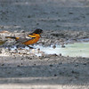 Baltimore Oriole <br /> Cora Island Road