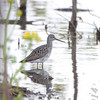 Greater Yellowlegs <br /> Ten Mile Pond