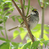 White-throated Sparrow <br /> Tower Grove Park