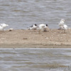 Franklin's and Ring-billed Gulls <br /> Ellis Bay <br /> Riverlands Migratory Bird Sanctuary <br /> 5/8/14