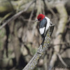Red-headed Woodpecker <br /> Squaw Creek National Wildlife Refuge