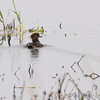 Hooded Merganser <br /> Squaw Creek National Wildlife Refuge