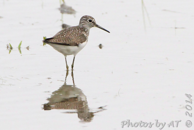 Solitary Sandpiper <br /> Columbia Bottoms Conservation Area