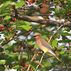 Cedar Waxwing <br /> Columbia Bottom Conservation Area