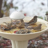 Pine Siskin • House Finch • House Sparrows <br /> Bridgeton, MO <br /> 11/27/14