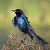 Another boat-tailed grackle displaying its rich colors.