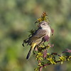 A palm warbler sitting in a bush top as if posing.