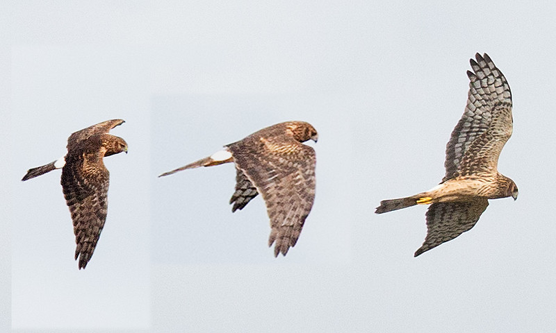 Three combined photos of the same northern harrier in flight.
