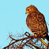 A red-shouldered hawk bathed in early-morning light, making the entire bird look reddish. Its upper-beak hook looks ominous.