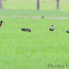 Glossy Ibis <br /> Long Neck Road, Scotland <br /> St. Mary's County, Maryland <br /> 4/10/15