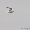 Forster's Tern <br /> Wynne Road <br /> St. Mary's County, Maryland <br /> 4/10/15