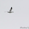 Snow Goose  <br /> Flyover picnic area <br /> Point Lookout State Park  <br /> St. Mary's County, Maryland <br /> 4/09/15