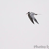 Forster's Tern  <br /> Cornfield Harbor Rd <br /> St. Mary's County, Maryland <br /> 4/10/15