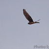 Northern Harrier <br /> Cornfield Harbor Rd <br /> St. Mary's County, Maryland <br /> 4/10/15