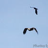 Fish Crow harassing Bald Eagle <br /> Point Lookout SP<br /> St. Mary's County, Maryland <br /> 04/13/15
