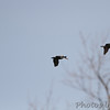 Brown Pelicans <br /> Point Lookout SP<br /> St. Mary's County, Maryland <br /> 04/13/15