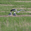 Laughing Gulls <br /> Long Neck Road <br /> St. Mary's County, Maryland <br /> 4/13/15