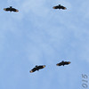 Black Vultures <br /> Point Lookout SP<br /> St. Mary's County, Maryland <br /> 04/11/15